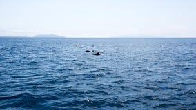 Delfin near kanalöar, Kalifornien Royaltyfri Foto