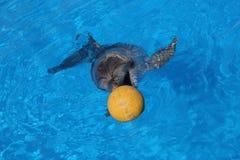 Delfin och boll Royaltyfri Fotografi