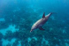 Delfin och korall arkivbilder