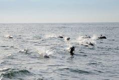 Delfin på havet Royaltyfria Foton