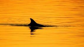 Delfin pływa statkiem na zmierzchu obraz stock