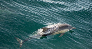 Delfin, pływa w oceanie Fotografia Royalty Free
