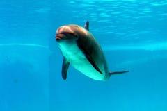 Delfin pływa w wodzie Obraz Stock