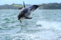 Delfin przeskakuje figlarnie w ślad za łodzią zdjęcie royalty free
