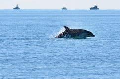 Delfin przeskakuje z wody Zdjęcia Stock