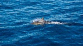 Delfin przy powierzchnią woda fotografia stock