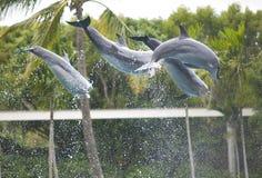 Delfin - Seaworld Australien Arkivbild