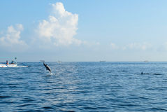 Delfin simmar i havet Royaltyfri Bild