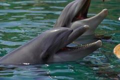 Delfin simmar i havet, ståenden som ler delfin Royaltyfri Fotografi