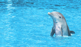 Delfin som är lycklig på havet Fotografering för Bildbyråer