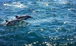 Delfin som bryter igenom yttersidan Arkivbilder