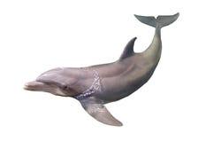 Delfin som isoleras Arkivfoton