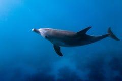 Delfin som ser upp Arkivfoto