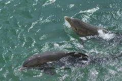 Delfin som simmar i ett vatten Royaltyfria Bilder