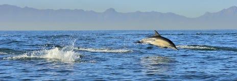 Delfin som simmar i havet Royaltyfri Fotografi
