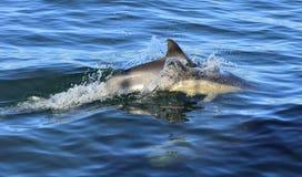 Delfin som simmar i havet Arkivfoto