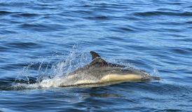 Delfin som simmar i havet Royaltyfria Bilder