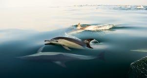 Delfin som simmar i havet Arkivbild