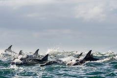 Delfin som simmar i havet Arkivbilder
