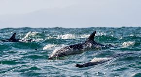 Delfin som simmar i havet Fotografering för Bildbyråer