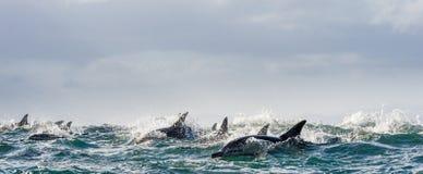 Delfin som simmar i havet Arkivfoton