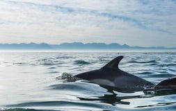 Delfin som simmar i havet och jagar för fisk Royaltyfri Foto