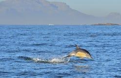 Delfin som simmar i havet och jagar för fisk Delfinbad och banhoppning från vattnet Dennäbbformiga scien för gemensam delfin Royaltyfria Foton