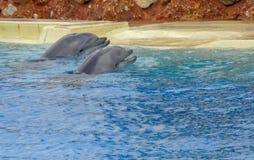 Delfin som simmar runt om pölen royaltyfria foton