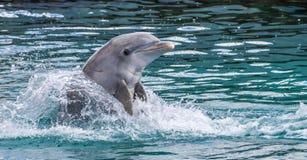 Delfin som spelar i havet Royaltyfria Foton