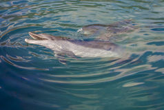 Delfin som spelar i havet Royaltyfri Foto