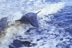 Delfin som spelar i vatten, Evergladesnationalpark, 10.000 öar, FL Arkivfoton