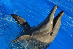 Delfin som spelar på akvariet i Baja California Los Cabos delfin nariz de botella Royaltyfria Foton