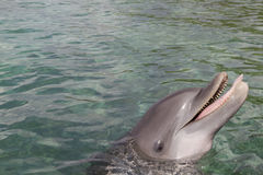 Delfin som ut petar tungan Royaltyfri Bild