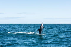Delfin strzela prosto z wody Obraz Stock