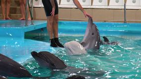 Delfin trycker på handen av instruktören, och andra gråa och vita delfin simmar närliggande arkivfilmer