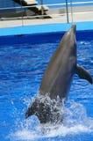 Delfin utför ett akrobatiskt trick Royaltyfria Bilder