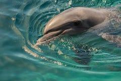 Delfin vilar på yttersidan av vattnet Arkivbild
