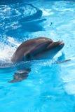 Delfin w basenie Zdjęcie Royalty Free