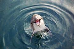 Delfin w morzu Zdjęcia Royalty Free