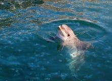 Delfin w morzu Zdjęcie Royalty Free
