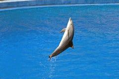 Delfin w pływackim basenie Obraz Royalty Free