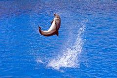 Delfin w pływackim basenie Fotografia Stock