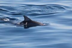 Delfin łydka i matka Zdjęcia Stock