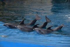 1 delfinbanhoppning royaltyfria bilder