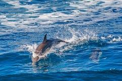 Delfinbanhoppning Royaltyfria Bilder