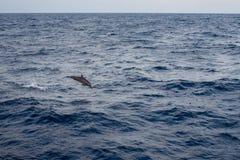 Delfinbanhoppning från öppet vatten Arkivfoto