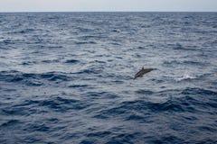 Delfinbanhoppning från Arkivfoto