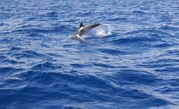 Delfinbanhoppning i Atlantic Ocean Azores ökustlinje Royaltyfri Fotografi