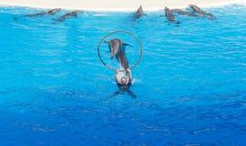Delfinbanhoppning in i beslaget över vattnet på delfinshowen Fotografering för Bildbyråer