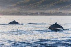 Delfinbanhoppning i delfinstranden Lovina, Bali Royaltyfria Foton